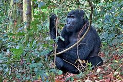 Eastern gorilla in the beauty of african jungle Royalty Free Stock Photo