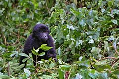 Eastern gorilla in the beauty of african jungle Royalty Free Stock Photos