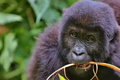 Eastern gorilla in the beauty of african jungle Stock Images