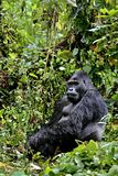 Eastern gorilla in the beauty of african jungle Royalty Free Stock Image