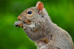 Eastern gray or grey squirrel Stock Images