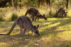 Eastern Gray Kangaroos Stock Image