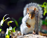 Eastern Gray Squirrel. Staring at photographer Stock Photography