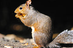 Free Eastern Gray Squirrel Royalty Free Stock Images - 17848189