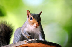 Free Eastern Gray Squirrel Royalty Free Stock Image - 18218516