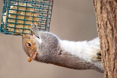 Free Eastern Gray Squirrel Royalty Free Stock Photos - 22565378