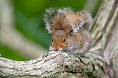 Eastern Gray Squirrel Royalty Free Stock Images