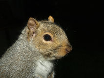 Eastern Gray Squirrel. Portrait of Eastern Gray Squirrel on black background Stock Images
