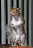 Eastern Gray Squirrel on alert. A gray squirrel is on lookout for intruders Royalty Free Stock Photo