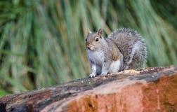 Eastern Gray Squirrel, Athens, Georgia. Eastern Gray Tree Squirrel eating seed with paws, backyard birding, Athens, Georgia. Sciurus carolinensis is native to Royalty Free Stock Photos