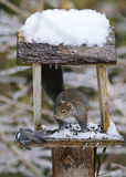 Eastern Gray Squirrel at Backyard Feeder Stock Images