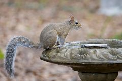 An Eastern Gray Squirrel on a birdbath. A friendly Eastern Gray Squirrel Sciurus carolinensis perches on a birdbath Stock Image