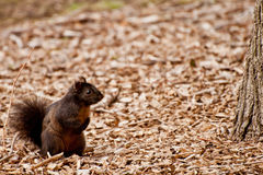 Eastern Gray Squirrel Black Phase Royalty Free Stock Photography