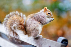 Eastern gray squirrel in Central Park Stock Photos