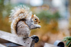 Eastern gray squirrel in Central Park in New York Royalty Free Stock Photo