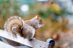 Eastern gray squirrel in Central Park in New York Stock Photos