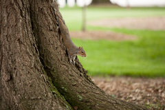 An eastern gray Squirrel. Climbing down a tree Royalty Free Stock Image