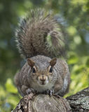 Eastern Gray Squirrel with Direct Stare Royalty Free Stock Image