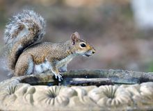 Eastern Gray Squirrel Drinks Stock Photography