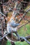 Eastern Gray Squirrel eating. Eastern Gray Squirrel (Sciurus carolinensis) nibbling on maple samaras Royalty Free Stock Images