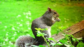 Eastern gray squirrel eating seeds in the park stock video footage