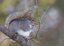 Eastern gray squirrel stock photography