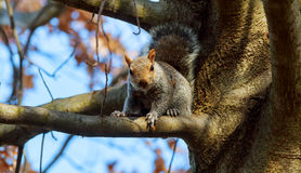Eastern Gray Squirrel. Squirrel eats nuts stare, tail, tree, wild, wildlife stock image
