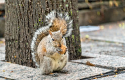Eastern gray squirrel eats a walnut on Trinity Square in Toronto, Canada Stock Image