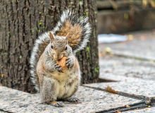Eastern gray squirrel eats a walnut on Trinity Square in Toronto, Canada Stock Photo