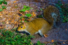 Sandy Squirrel. An Eastern Gray squirrel in a Florida forest who just dug in the sandy ground to hide its nut and sprayed sand on itself royalty free stock photography