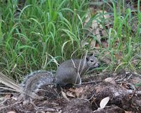 Eastern gray squirrel foraging in the woods stock photography