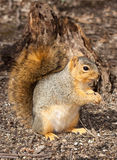 Eastern gray squirrel in front of a stump. Reddish eastern gray squirrel keeps a watchful eye for predators as it eats sunflower seeds; background of shallow royalty free stock image