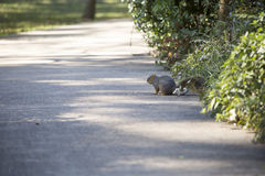 Eastern Gray Squirrel Stock Photos