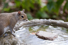 Eastern Gray Squirrel has a drink from birdbath. A curious and friendly eastern gray squirrel Sciurus carolinensis has a drink from a backyard birdbath Stock Photos