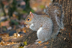 Eastern Gray Squirrel Stock Images