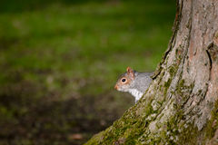 Eastern Gray Squirrel Hiding Behind Tree Royalty Free Stock Image