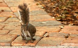Leaning to one side a cute squirrel looks at the photographer. Royalty Free Stock Photos