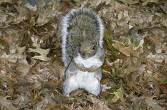 Eastern Gray Squirrel Leaves Stock Image