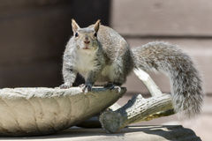 Eastern Gray Squirrel Royalty Free Stock Photos