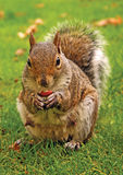 Eastern Gray Squirrel with nut. Portrait of Eastern Gray or Grey squirrel eating nut on grass Royalty Free Stock Photos