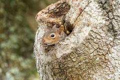 Eastern Gray Squirrel Peeking from Oak Tree Hollow II Royalty Free Stock Photos