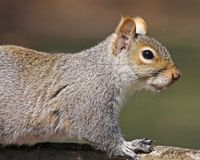 Eastern Gray Squirrel portrait Stock Photos