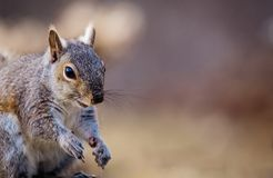 Eastern Gray Squirrel poses cheerfully in beautiful afternoon light. Eastern Gray Squirrel, Sciurus carolinensis, poses with a smile in beautiful afternoon light Stock Image