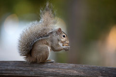 Eastern gray squirrel on a post Stock Photography
