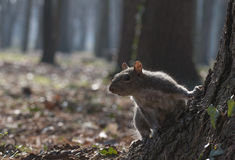 Eastern gray squirrel stock photo
