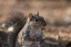 Eastern gray squirrel stock image
