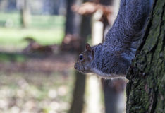 Eastern gray squirrel stock photos