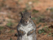 Eastern gray squirrel royalty free stock photography
