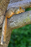 Eastern Gray Squirrel (Scirurs carolinensis) Stock Photo