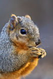 Eastern Gray Squirrel (Sciurus) Royalty Free Stock Photography